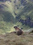 Alpenmarmot-website24.jpg