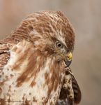 Buizerd-website68.jpg