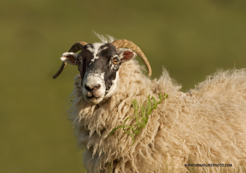 Schots-schaap-website2.jpg