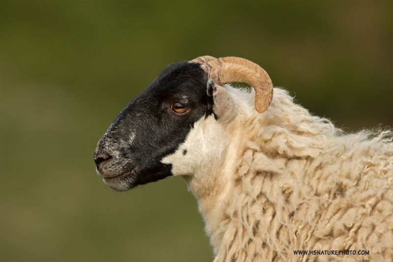 Schots-schaap-website3.jpg